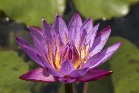 purple water lily or blue star lotus with yellow and green background close up detail front view - nymphaea nouchali
