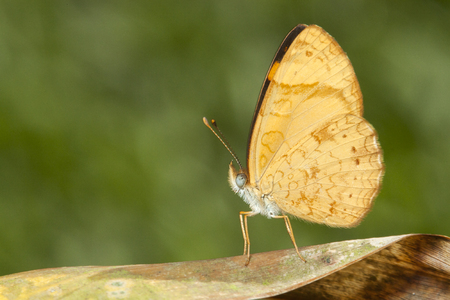 yellow butterfly on brown leaf with green bacground macro close up detail Stock Photo