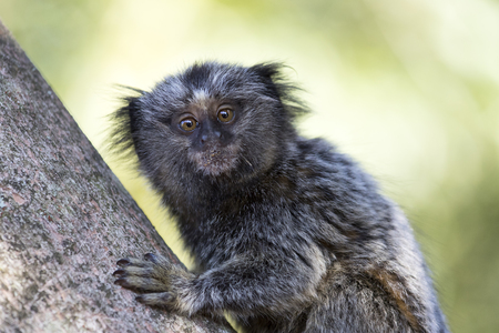 baby black-tufted marmoset