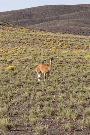 guanaco at atacama desert - vertical