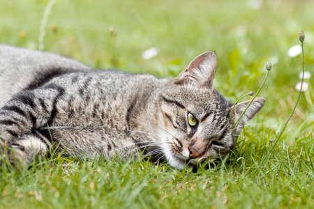 gato atigrado: Mackerel Tabby gato acostado en la hierba