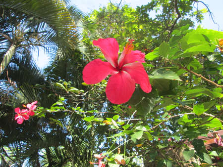Cayeno florecido