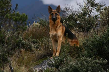 German shepherd in the wilderness photo