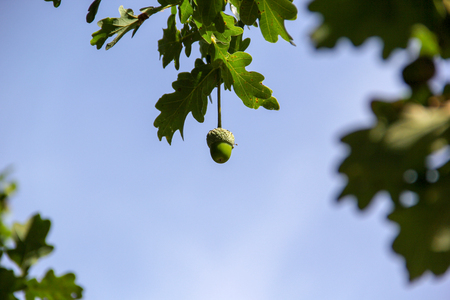 Acorn hanging waiting for a  chipmunk Stock Photo