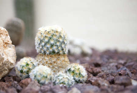 Colorful decorative cactus close up