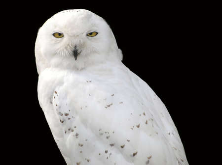 snowy owl: A snowy owl against a black background Stock Photo
