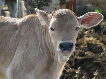 Photo of a calf in a farm in the country Stock Photo - 867855