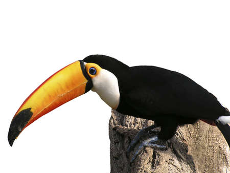 Exotic photo with this toucan in a white background  Stock Photo