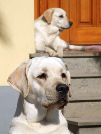 Two white dogs in front of a house's door