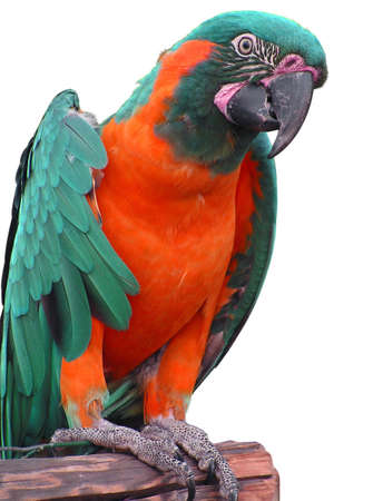 Colorful parrot on a white background