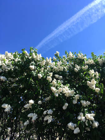 The concept of spring and bloom. Beautiful white lilac in the garden against the blue sky with clouds. A branch of blossoming lilac. Flower pattern. Flowering time.