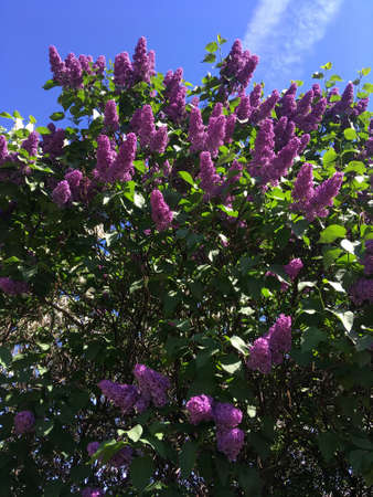 The concept of spring and bloom. Beautiful purple lilac in the garden against the blue sky with clouds. A branch of blossoming lilac. Flower pattern. Flowering time. Stock Photo
