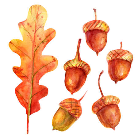 Watercolor illustration with acorns. The seeds of the tree are oak green-brown in color with a golden-ocher cup. Five isolated fruits and one leaf on a white background. Autumn concept. Stockfoto