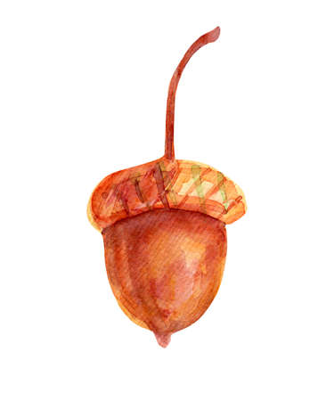 Watercolor illustration with acorn. The seed of the tree is oak red-brown in color with a golden-ocher cup. Isolated object on white background.