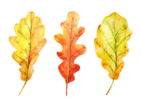 Watercolor autumn set with oak leaves. 3 fallen leaves of yellow and orange with drops and splashes. Isolated objects on white background. Elements for design.