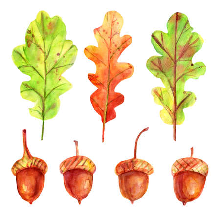 Watercolor autumn set with leaves and acorns. Four seeds of a tree of an oak red-brown color with a gold-ocher cup. 3 fallen leaves in green and orange.