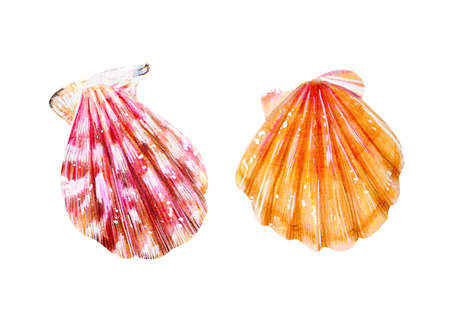 Set of two isolated sea scallops. Pink mother-of-pearl and yellow clam Pectinidae. Nature of the World Ocean. Underwater resident. Summer season. Hand drawn illustration.