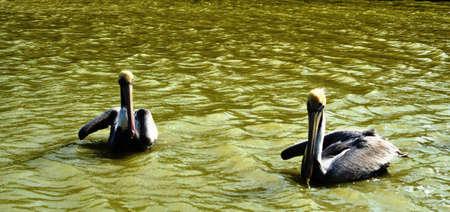 swimming bird: Bird swimming