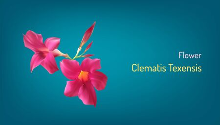 beautiful realistic flower clematis in pink princess diana. vector illustration eps10 Illustration