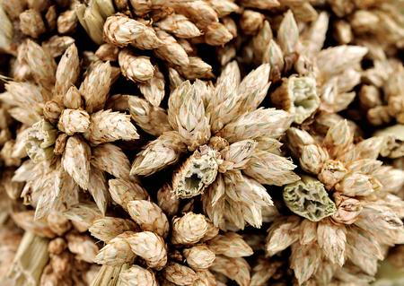tritium: Ear of barley close up background