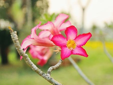 obesum: obesum adenium flowers in garden for background.
