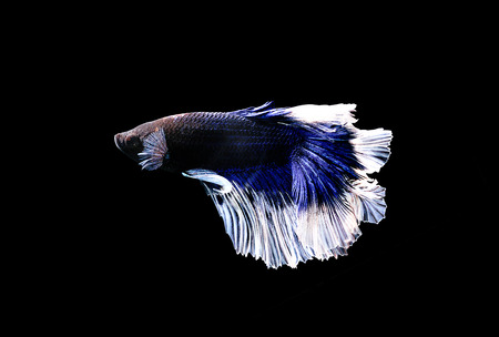 siamese: Siamese fighting fish close up Stock Photo