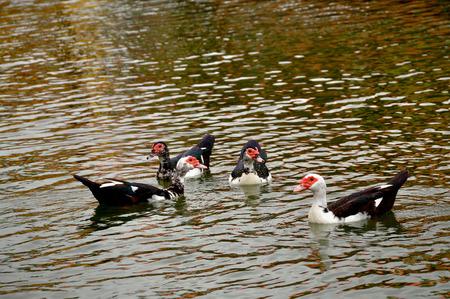 color image mallard duck: Duck bird at lake river background