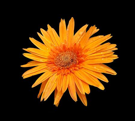 gebera: gebera daisies Stock Photo