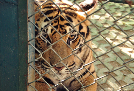 locked up in a cage: tigers in cage looking background