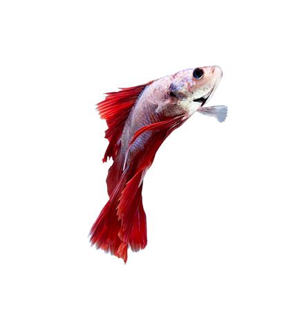 dragon swim: betta halfmoon fighting beautiful fish close up Stock Photo
