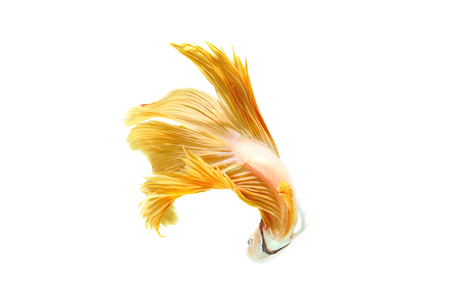 fish tail: betta halfmoon fighting beautiful fish close up