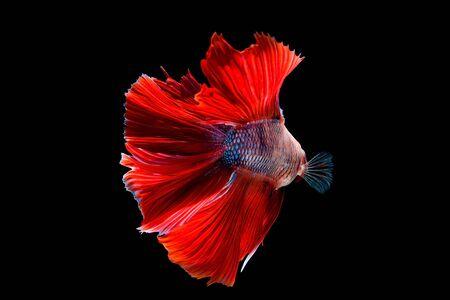aquarium hobby: betta halfmoon fighting beautiful fish close up