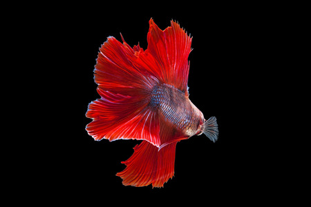 dragon swim: betta halfmoon fighting beautiful fish close up