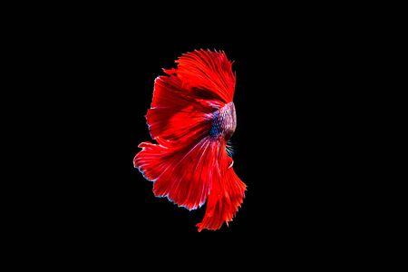 aquarium hobby: betta halfmoon fighting beautiful fish close up Stock Photo