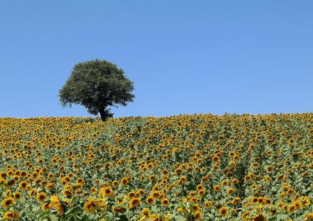 girasol: Campo del girasol de verano