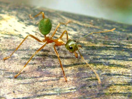 ベリーズのジャングルは、火蟻のクローズ アップ