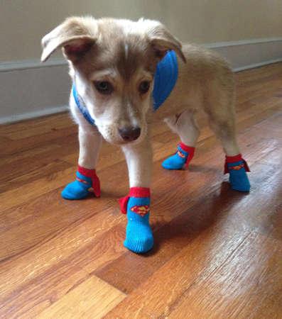ハロウィーンのためのスーパーマンに扮した子犬 報道画像