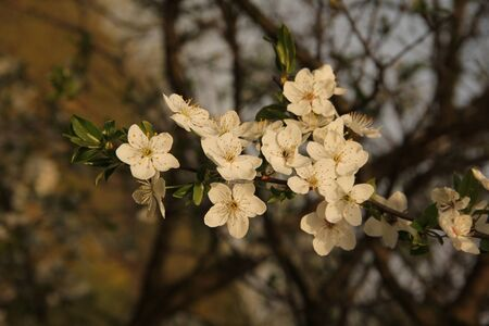 Tree branch with white blossoms on the natural green blurred background