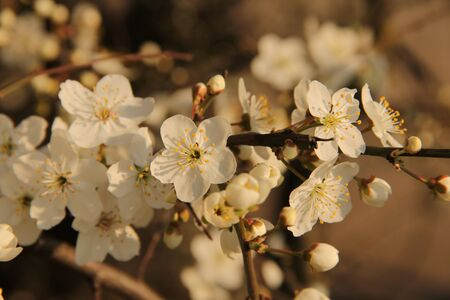 Tree branch with white blossoming and unfolding buds on the natural bright blurred background Stock Photo