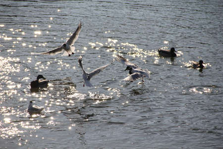 Gulls splashing in Nevezis river water on a sunny spring day Stock Photo