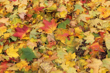 Panoramic view of colourful fallen leaves on the ground in autumn in Lithuania