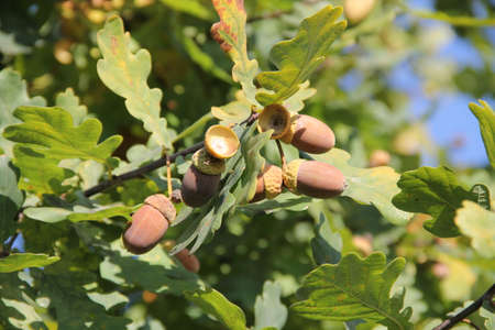 A bunch of oaknuts (acorns) hanging on the branch in the background of green leaves and blue sunny sky in autumn in Lithuania Stock Photo