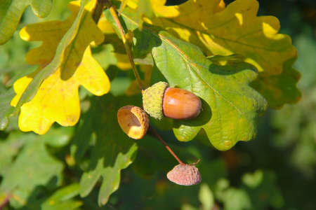 Brown acorn and a few caps of acorns hanging on the branch of an oak nut in autumn in Lithuania