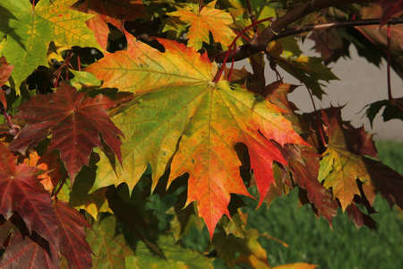 Close up of colourful maple leaf in the background of multicoloured leaves in autumn in Kaunas, Lithuania Stock Photo