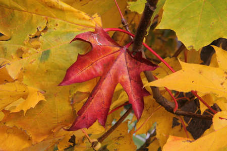 Red maple leaf in the background of colourful leaves in autumn in Lithuania