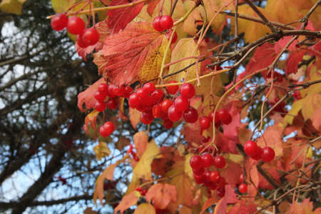 Cluster of red viburnum berries hanging on the branch and colourful leaves in the background of blue sky in autumn in Kaunas, Lithuania