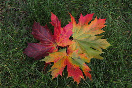 Autumn composition of three colourful maple trees leaves on the green grass background in Kaunas, Lithuania
