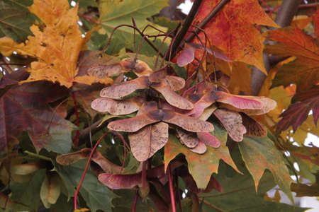Multicolored  maple leaves and blossoms hanging on branches of the maple tree in autumn in Kaunas, Lithuania Stock Photo