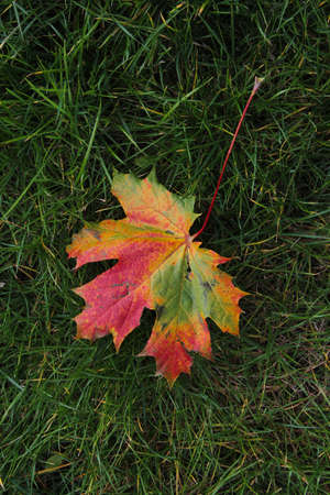 Colorful maple leaf on the green grass background in autumn in Kaunas, Lithuania