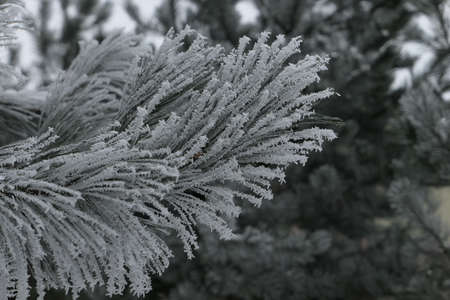 Close up of a pine branch covered with thick snow in the background of frosty coniferous trees on a cold winter day in Kaunas, Lithuania